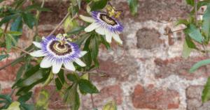 passiflora rimedi contro l'ansia